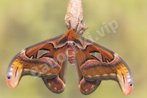 Attacus Atlas1